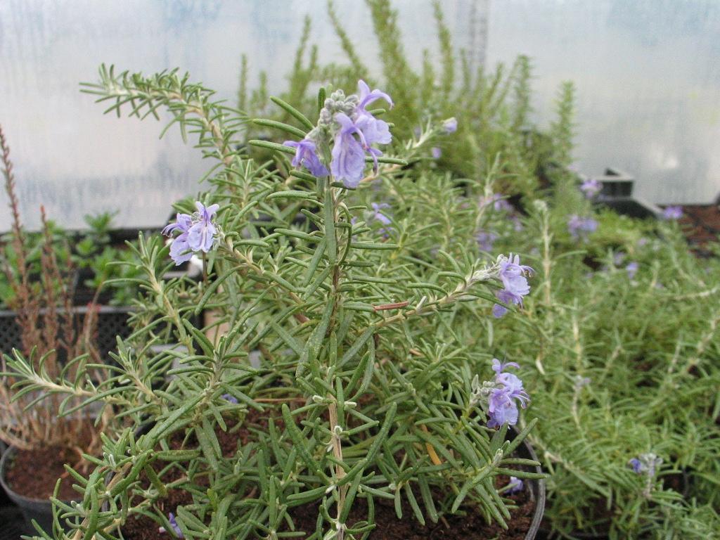 R Rosmarin Krk Pflanze